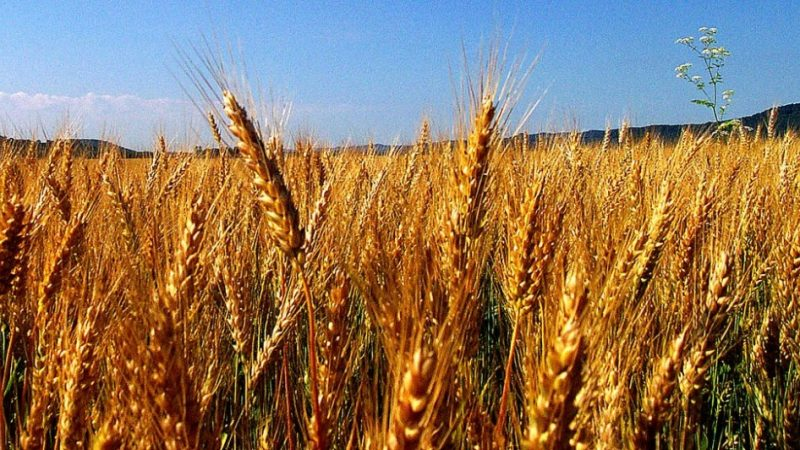 Amber-Waves-of-Grain-by-Don-OBrien